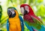 Amerika papağanı özellikleri