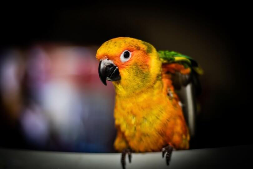 konur papağanları