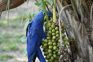 Sümbül Amerika Papağanı Özellikleri