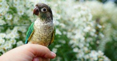 Yeşil Yanaklı Amazon Papağanı Özellikleri