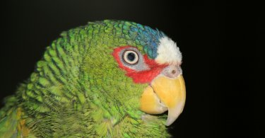 Beyaz Alınlı Amazon Papağanı Özellikleri