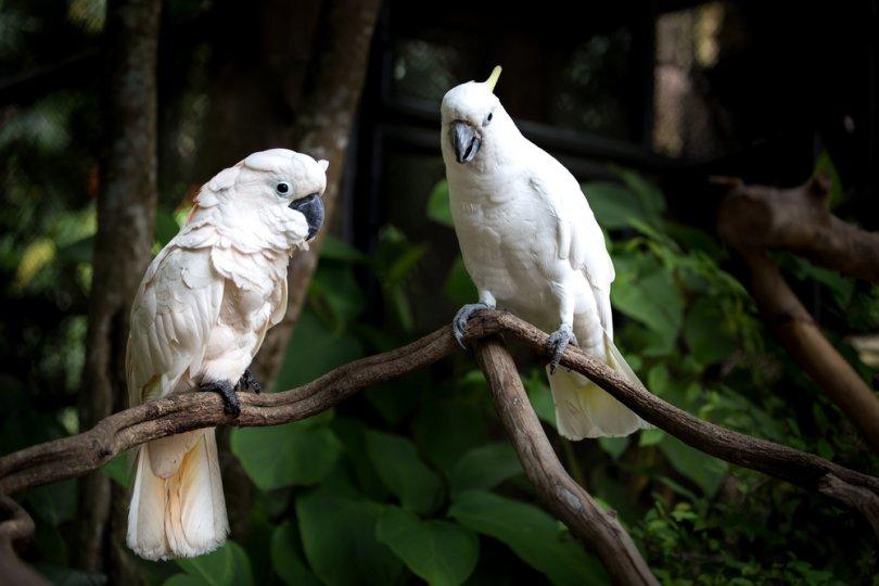 beyaz kakadu özellikleri