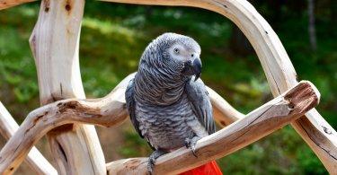 Afrika gri papağanı özellikleri