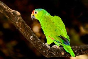 kırmızı loreli Amazon papağanı özellikleri