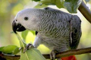 en iyi konuşan kuş türleri