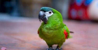 Kırmızı Omuzlu Amerika Papağanı