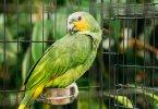 Turuncu Kanatlı Amazon Papağanı