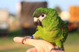 Kırmızı Omuzlu Amerika Papağanı özellikleri