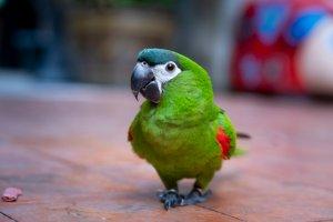 Kırmızı omuzlu Amerika papağanı (Hahn's macaw)